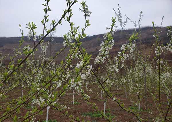 """""""五免""""村支书王圈:3年栽种10万棵果树 半架荒山变花果山"""